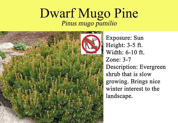 Pinus mugo pumilio, Dwarf Mugo Pine.jpg