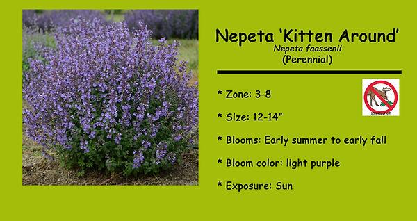 Nepeta, Kitten Around.jpg