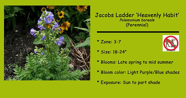 Polemonium boreale (Jacobs Ladder),Heave