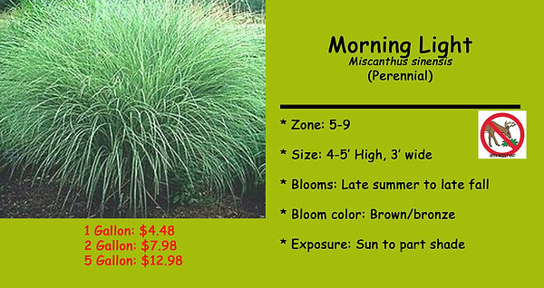 Miscanthus _Morning Light_ .jpg