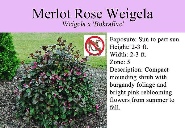 Weigela x 'Bokrafive', Merlot Rose Weige