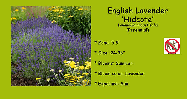 Lavendula Lavender _Hidcote_.jpg