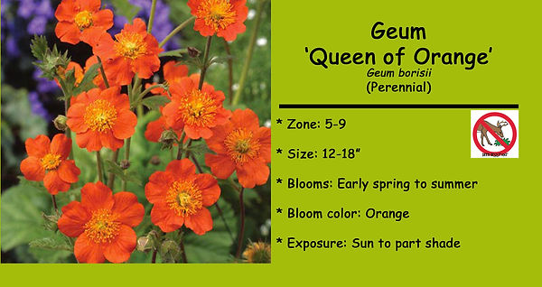 Geum _Queen of Orange_ .jpg