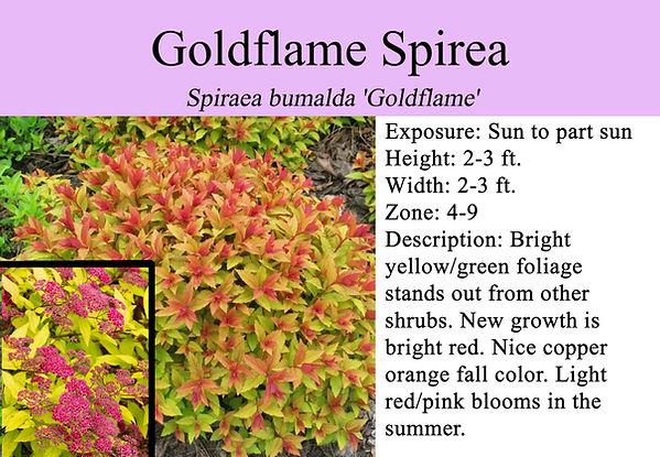 Spiraea bumalda 'Goldflame', Goldflame S