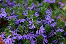 Scaevola Surdiva Blue Violet.jpg