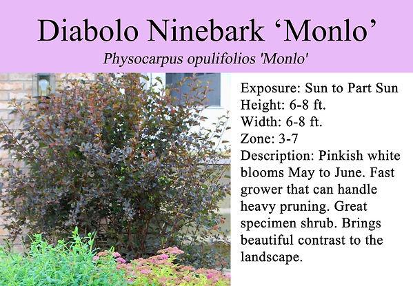 Physocarpus opulifolios 'Monlo', Diablo