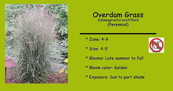 Calamagrostis _Overdam.jpg