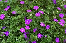 geranium sanguineum _Vision Violet_.jpg