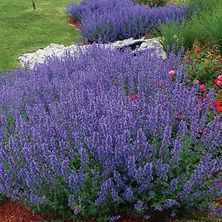 Nepeta Catmint _Walkers Low_.jpg