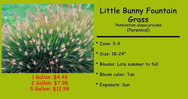 Pennisetum alopecuroides,Little Bunny Fo