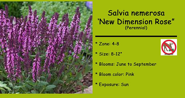 Salvia _New Dimension Rose_ .jpg