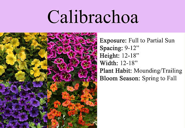 Calibrachoa.jpg