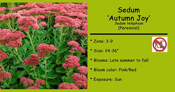 Sedum _Autumn Joy.jpg