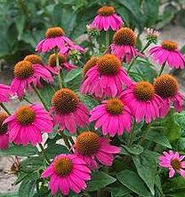 Echinacea Pow Wow Wildberry.jpg