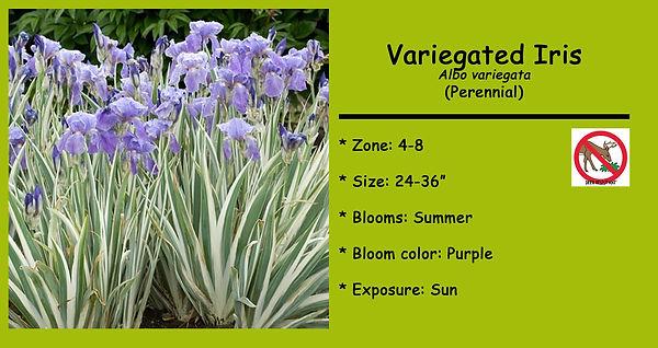 Iris pallida Albo variegata Variegated I