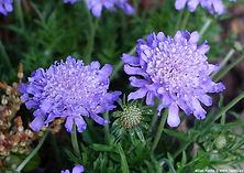 Scabiosa Butterfly Blue.jpg