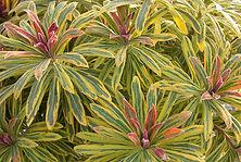 Euphorbia Ascot Rainbow.jpg