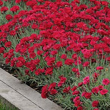 Dianthus Red Beauty.jpg