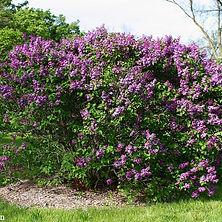 Syringa vulgaris (Purple), Common Lilac