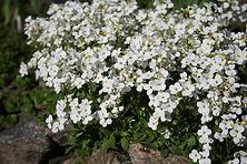 Arabis Little Treasure White.jpg