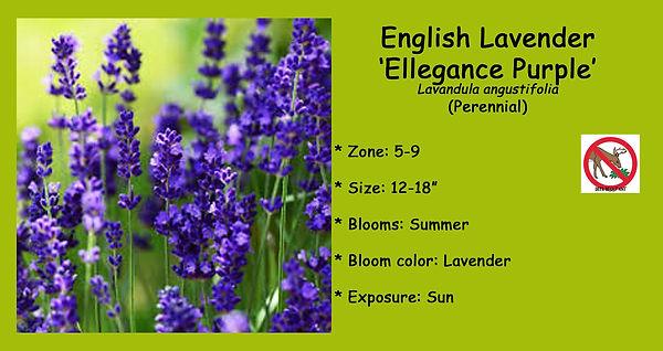 Lavendula Lavender _Ellegance Purple.jpg
