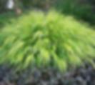 Hakonechloa 'Aureola' Japanese Forest Gr