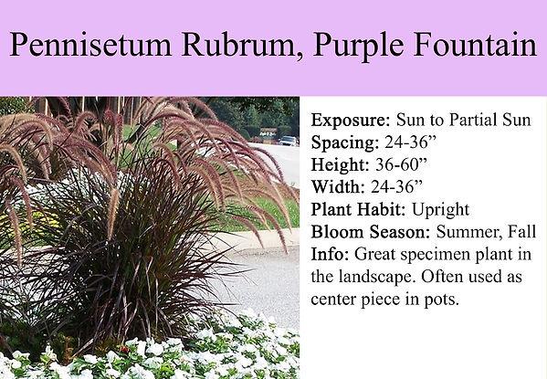 Pennisetum X advena Rubrum, Purple Fount
