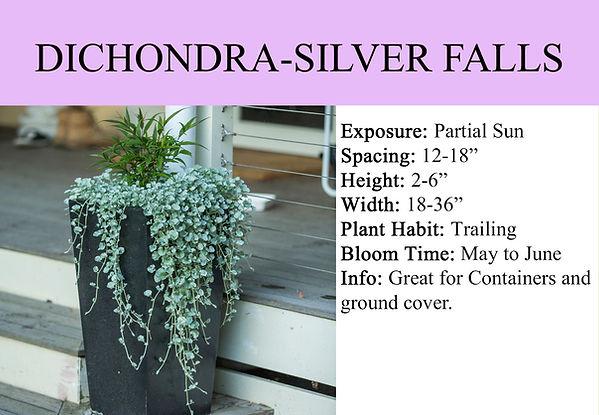 DICHONDRA-SILVER FALLS.jpg