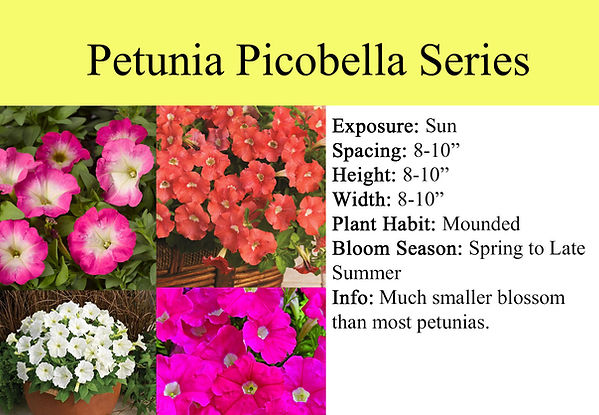 Petunia Picobella Series.jpg