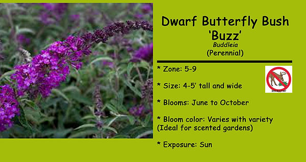 Buddleia Buzz  species.jpg