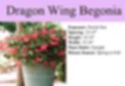 Begonia, Dragon Wing.jpg