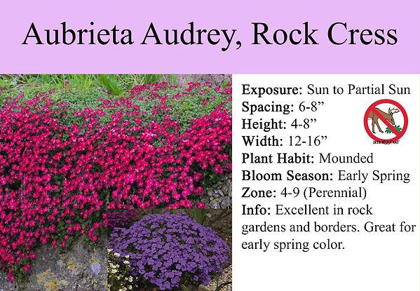 Aubrieta Audrey, Rock Cress.jpg