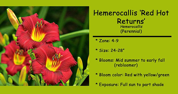 Hemerocallis, Red Hot Returns.jpg