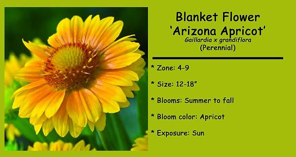 Gaillardia  Arizona Apricot.jpg
