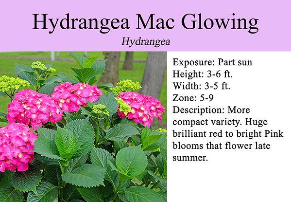 Hydrangea Mac Glowing Embers.jpg