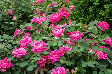 Rosa 'Radcon' Double Knock Out Rose (Dee