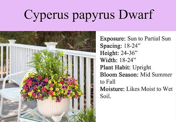 Cyperus papyrus Dwarf Papyrus Grass.jpg
