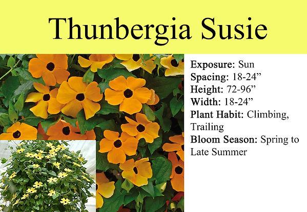 Thunbergia Susie.jpg