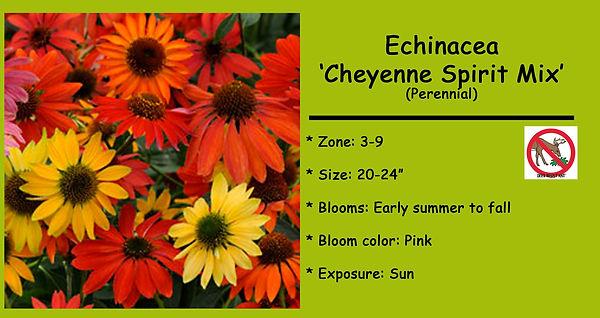 Echinacea  Cheyenne Spirit Mix.jpg