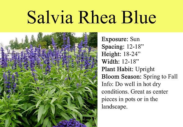 SALVIA-RHEA BLUE.jpg