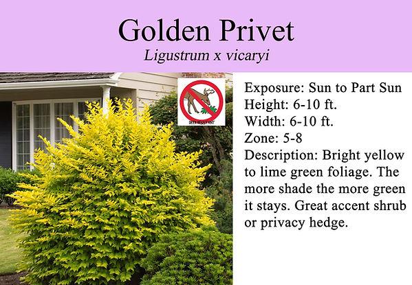 Ligustrum x vicaryi Golden Privet.jpg
