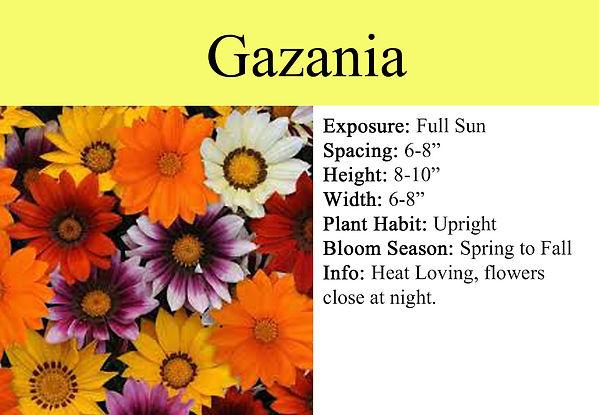 Gazania.jpg