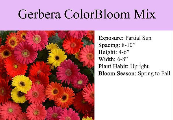 Gerbera ColorBloom Mix.jpg