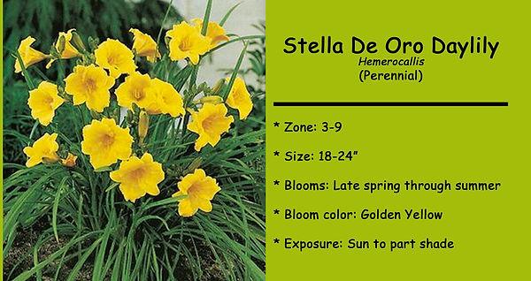 Hemerocallis Stella De Oro Daylily .jpg