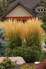 Calamagrostis,Karl Foerster.jpg