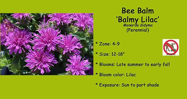 Monarda Bee Balm Balmy Lilac .jpg