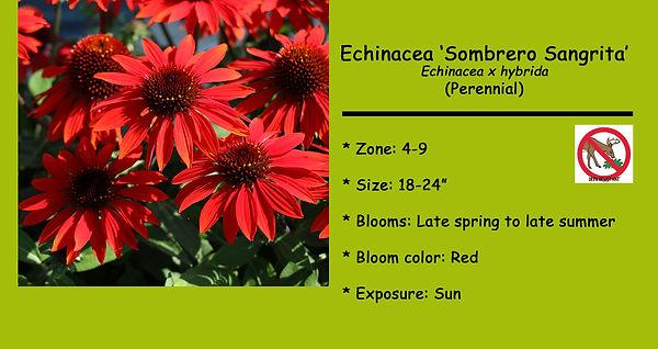 Echinacea, Sombrero Sangrita.jpg