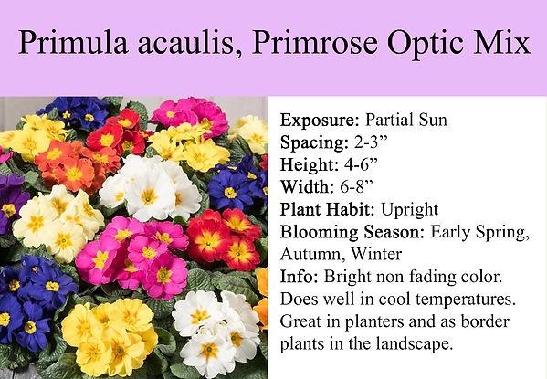Primula acaulis, Primrose Optic Mix.jpg