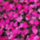 Impatiens Sunpatiens Compact Neon Pink.j
