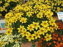 Bidens Beedance Yellow.jpg